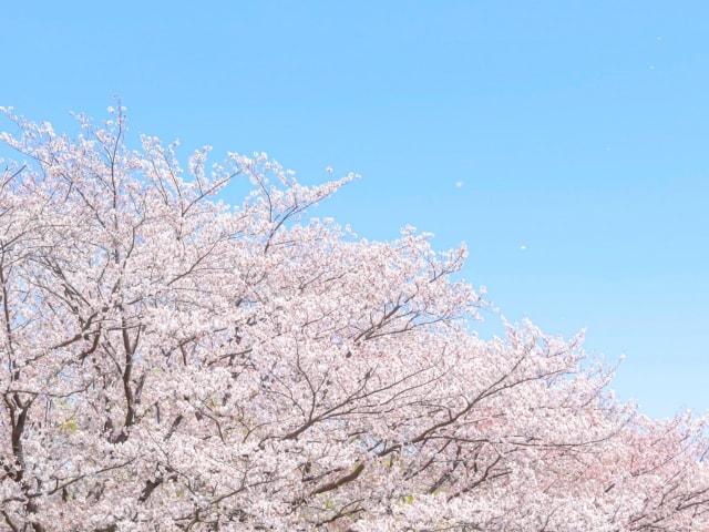 春爛漫!ふるさと桜フォトコンテスト2020